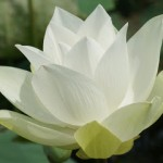 white_lotus-flower-dsc05861-wp